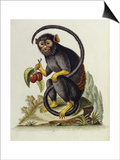 A Little Black Monkey Brought from the West Indies by Commodore Fitzroy Lee Art by George Edwards