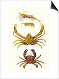 Spider Crab, Sand Skipper, Prawn, Velvet Swimming Crab Posters af James Sowerby