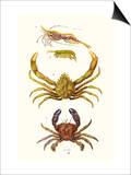 Spider Crab, Sand Skipper, Prawn, Velvet Swimming Crab Posters by James Sowerby