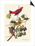Summer Tanager Print by John James Audubon