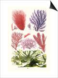 Seaweeds Green Laver Prints by James Sowerby