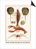 Horseshoe Crab, Shrimp, Lobster, Spider Crabs, Crabs, Porelain Crabs Plakater af Albertus Seba