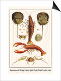 Horseshoe Crab, Shrimp, Lobster, Spider Crabs, Crabs, Porelain Crabs Prints by Albertus Seba