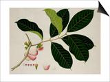 Eugenia Malaccensis Prints