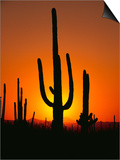 Sun Setting Behind Cacti Prints