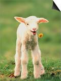Lamb holding dandelion in mouth Reprodukcje autor Markus Botzek