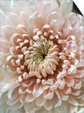 Chrysanthemum Rose Hybrid Prints by Cora Buttenbender