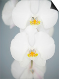 White Orchids Prints by Larry Dale Gordon