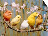 Five Colourful Canaries Sitting on a Branch with Blossoms Poster by Hans Reinhard