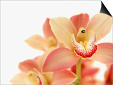 Salmon-Pink Orchid Blossoms Print by Larry Dale Gordon