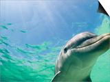 Bottlenose Dolphin Print by Stuart Westmorland