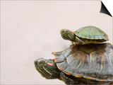 Baby Turtle Riding on Mother's Back Prints by Keren Su