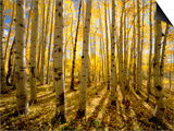 Aspen Trees in Autumn Prints by John Eastcott & Yva Momatiuk