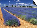 Lavender Field Poster by Jean-pierre Lescourret