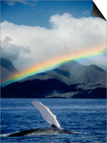 Rainbow over Breaching Humpback Whale Poster von Jeff Vanuga