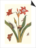 Nocturnal Moth Caterpillar on a Barbados Lilly and a Coreidae Bug Posters by Maria Sibylla Merian