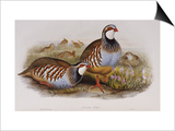 Red Legged Partridges (Caccabis Rubra) Poster by John Gould