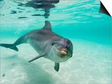 Stuart Westmorland - Bottlenose Dolphin - Reprodüksiyon