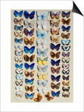 A packed plate of sixty-two butterflies Print by Marian Ellis Rowan