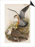 Merlin Posters by John Gould
