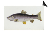 Watercolour of a Trout, Early 19th Century Art by Sarah Bowdich
