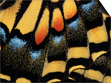 Close-Up of Anise Swallowtail's Wing Print by Ralph Clevenger