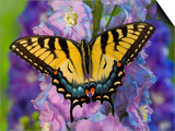Female Eastern Tiger Swallowtail Butterfly on Delphinium Posters af Darrell Gulin