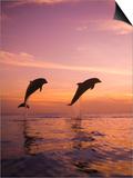 Stuart Westmorland - Jumping Bottlenose Dolphins - Reprodüksiyon