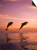 Jumping Bottlenose Dolphins Prints by Stuart Westmorland