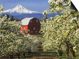 Barn in Orchard Below Mt. Hood Art by John McAnulty