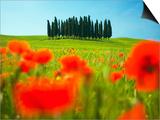 Italian Cypress Trees in Cornfield Posters by Frank Krahmer