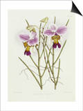 The Orchid Album Plate 475 Print