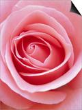 Pink rose Prints by Herbert Kehrer