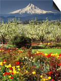 Tulips and Pear Orchard Below Mt. Hood Posters by John McAnulty