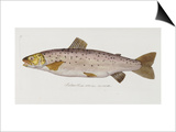 Hand Colored Enraving of a Salmon, 1785-1794 Poster von Baron Carl Von Meidinger
