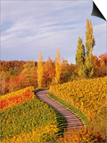 Vineyards and poplars in autumn Posters by Herbert Kehrer
