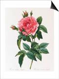 Rosa Gallica Reglais Posters by Pierre-Joseph Redouté