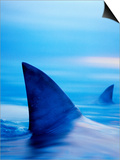 Shark Fins Cutting Surface of Water Posters af Randy Faris