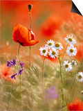 Poppy, camomile and larkspur Prints by Herbert Kehrer
