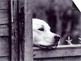 Dog Looking Over Fence Prints by Tim O'Leary