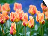 Tulipa 'Mary Ann' Affischer av Mark Bolton