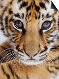 Tiger Cub Prints by Martin Harvey