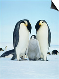 Two emperor penguins with fledgling Print by Hans Reinhard