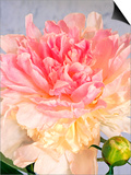 A Pale Pink and Cream-Colored Peony Blossom Posters by Oberto Gili