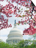 United States Capitol Dome in Washington, D.C. and Flowering Spring Trees Posters by Tim Mcguire