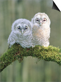 Two young tawny owls perched side by side Posters by Lothar Lenz