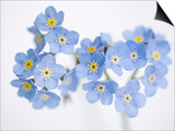 Arctic forget-me-nots Prints by John Norris