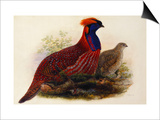 Temminck's Tragopan (Ceriornis Temminckii) Posters by Henry Constantine Richter
