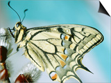 Swallowtail butterfly sitting on a blossom Prints by Oswald Eckstein