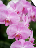 Rare, beautiful orchids bloom in a Florida garden Prints by Dana Hoff